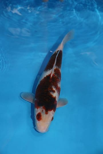 "Goromo-Koi For Sale 14"" 3754"