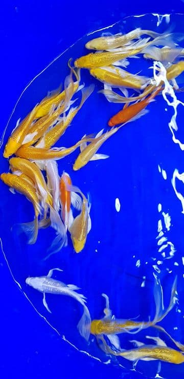 "Metallic Mix Butterfly-Koi For Sale 4""-5"""