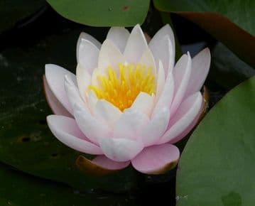 Pink Water Lily Nymphaea Marliacea Rosea